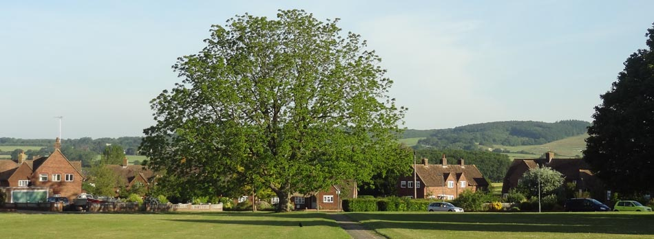 The magnificent black walnut tree on Churchfield Green, Wye