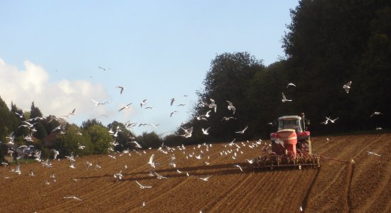 A tractor drilling next year's crop near Richards Wood, Great Coombe, surrounded by hundreds of gulls