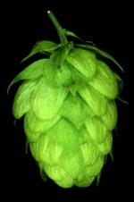 Hop Growing in Britain: Past, Present and Future